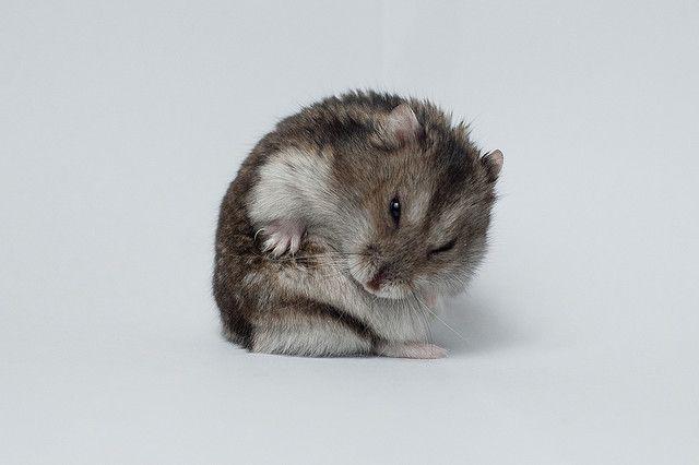 hamster-roedor