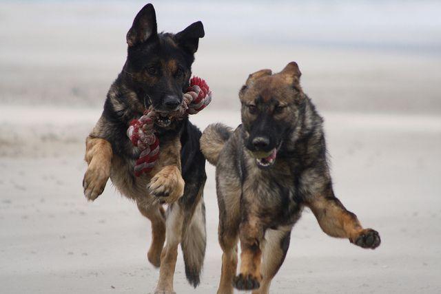 Raza de perro-pastor holandes