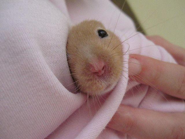 hamster enfermo