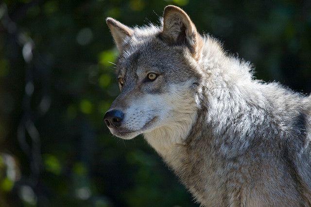 canes lobos