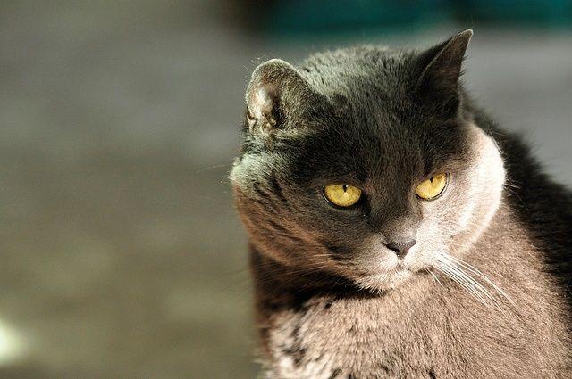 Chartreux -gato