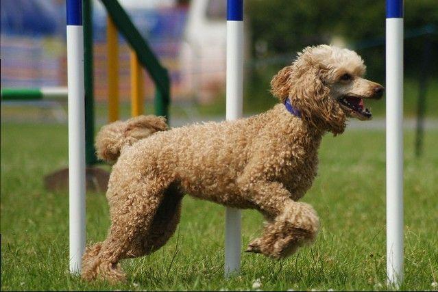 Raza de perro- caniche